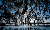 Tree branches with Spanish Moss over hangging the salt marsh